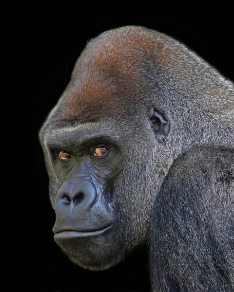 Silverback Lowland Gorilla Art Print