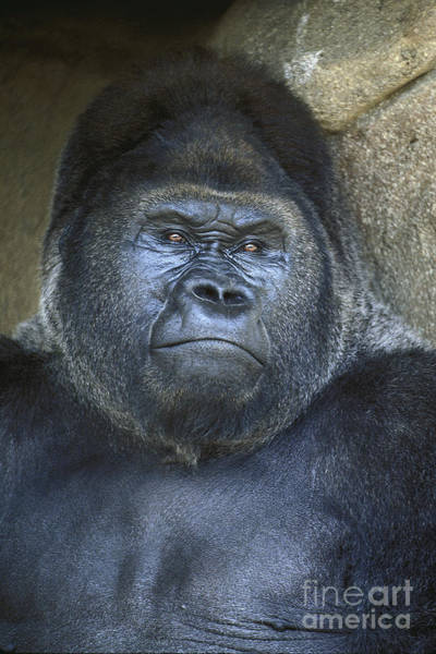 Wall Art - Photograph - Silverback Portrait by Paul W Faust -  Impressions of Light