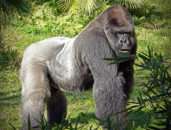 Photograph - Silverback by Steven Sparks