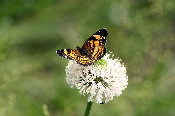 Photograph - Silvery Checkerspot Butterfly On Wildflower by Sheila Brown