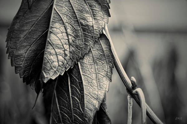 Photograph - Silvery Leaf IIi Toned by David Gordon