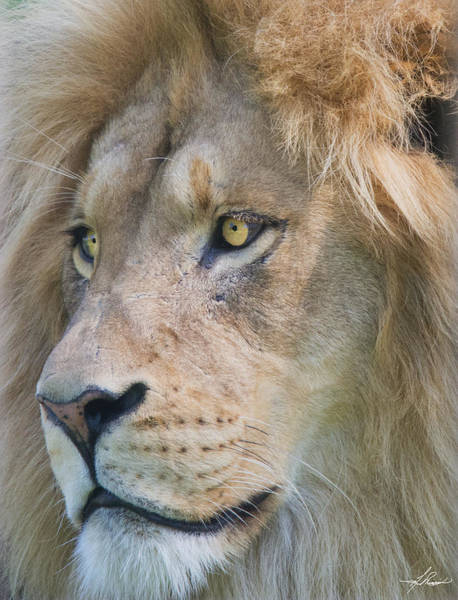 Photograph - Lion by Philip Rispin