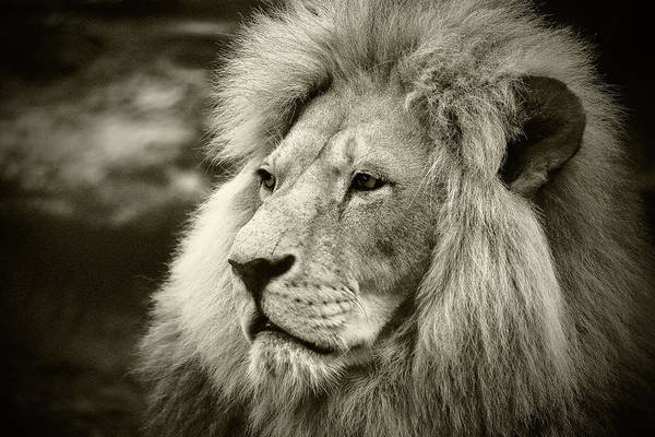 Photograph - Simba by Stefan Nielsen