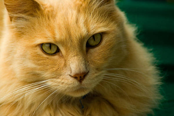 Photograph - Simba The Cat by Harry Spitz