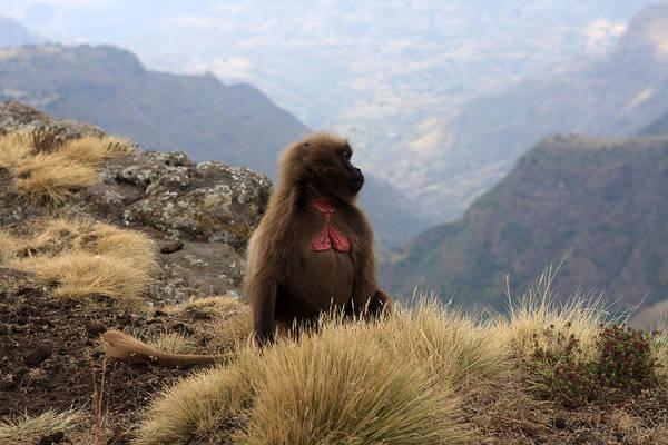 Photograph - Simien Mountain Gelada Baboon by Aidan Moran