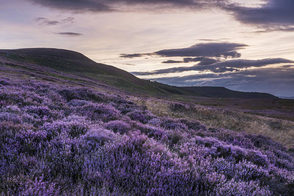 Northumbria Photograph - Simonside Heather by David Taylor