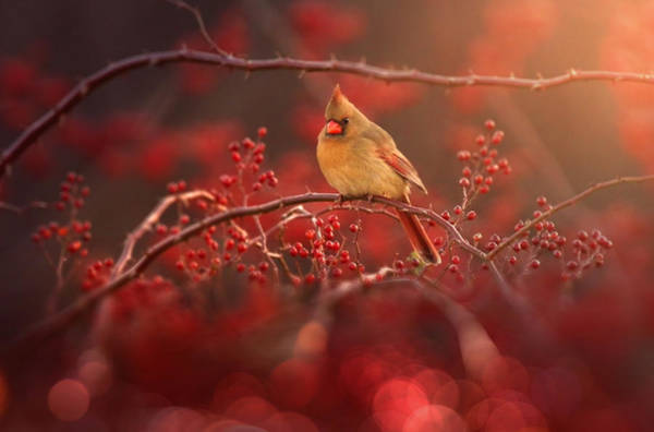Songbird Wall Art - Photograph - Simple Beauty by Rob Blair