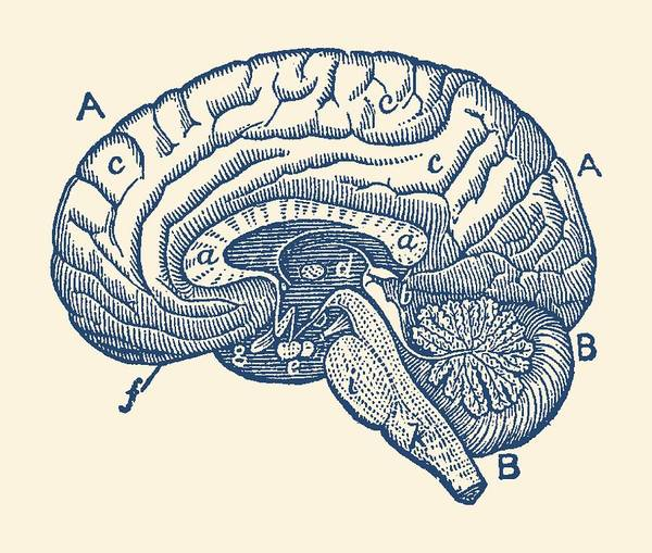 Nerves Drawing - Simple Brain Diagram - Anatomy Poster by Vintage Anatomy Prints