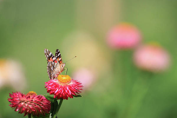 Photograph - Simple Butterfly by Brian Hale