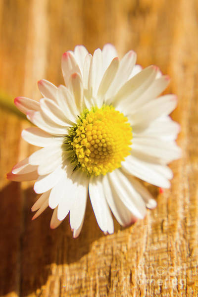 Close-up Photograph - Simple Camomile  In Sunlight by Jorgo Photography - Wall Art Gallery