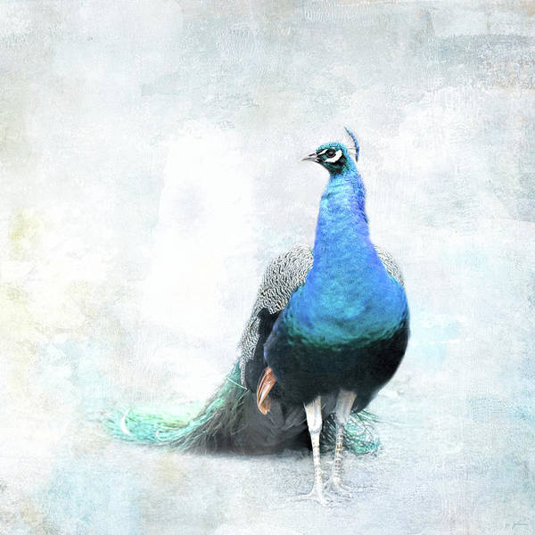 Photograph - Simple Luxury Peacock Art by Jai Johnson
