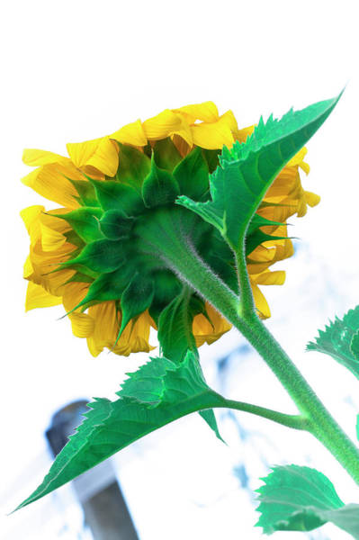 Photograph - Simple Sunflower by Edgar Laureano