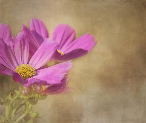 Photograph - Simply Cosmos by Kim Hojnacki