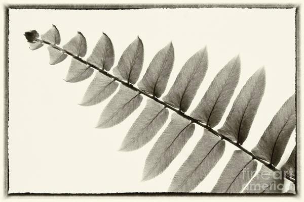 Photograph - Simply Fern by Karen Adams