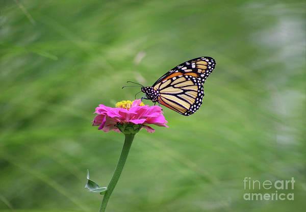 Photograph - Simply Monarch by Karen Adams