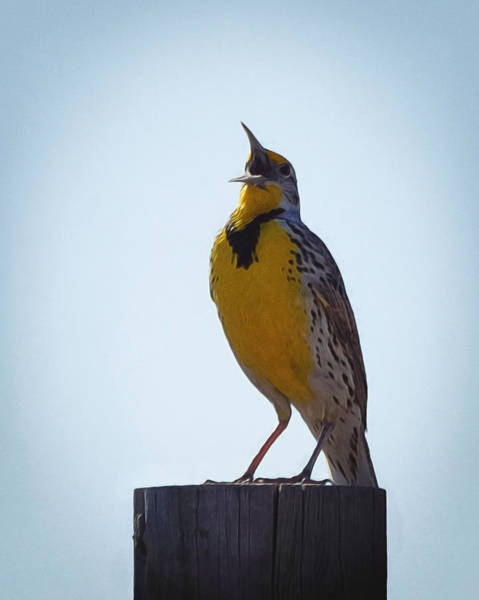 Meadowlark Digital Art - Sing Me A Song by Ernie Echols