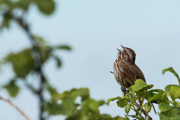 Photograph - Sing Song Sparrow by Robert Potts