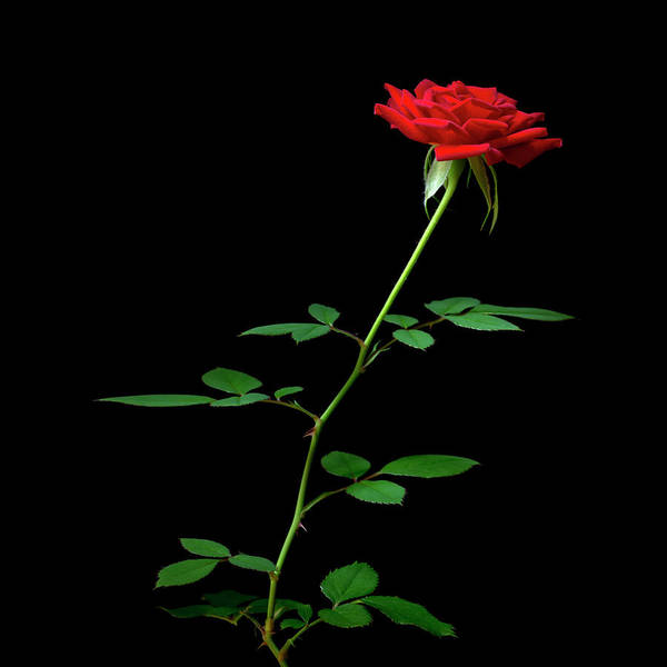 Photograph - Singe Red Rose by Christopher Johnson