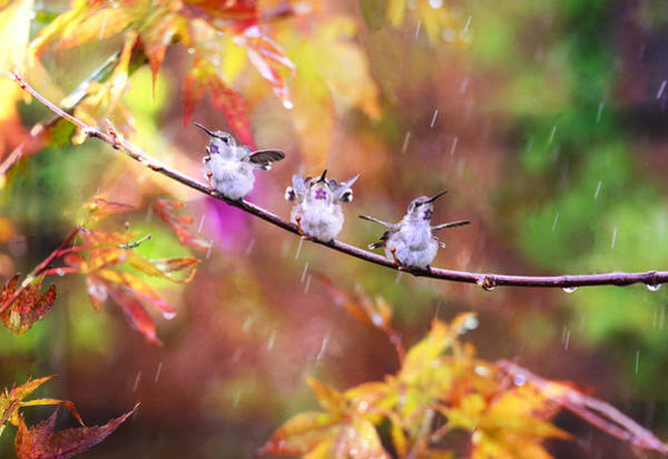 Chirping Photograph - Singing In The Rain by Lynn Bauer