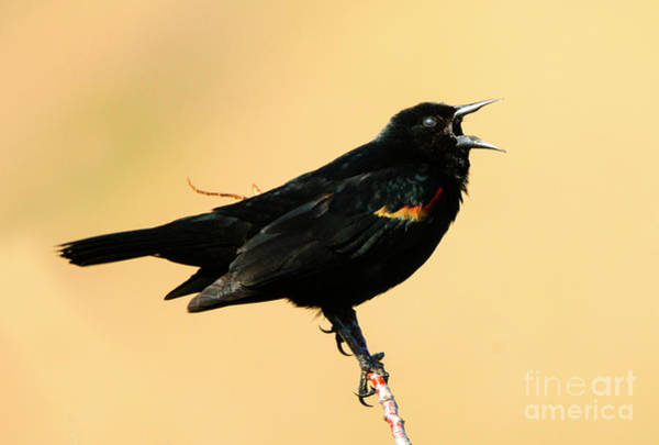 Red-winged Blackbird Wall Art - Photograph - Singing In The Sun by Mike Dawson