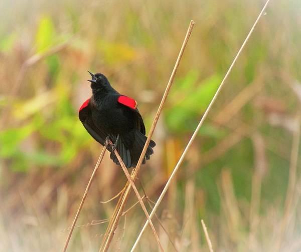 Photograph - Singing Redwing Blackbird by Michael Raiman