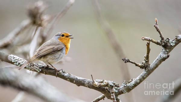 European Robin Photograph - Singing Robin by Torbjorn Swenelius