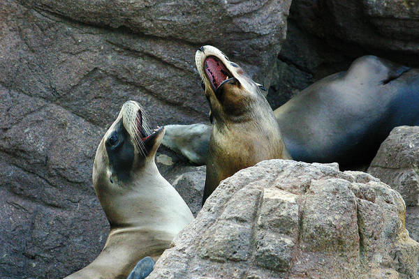 Photograph - Singing Sea Lions by Anthony Jones