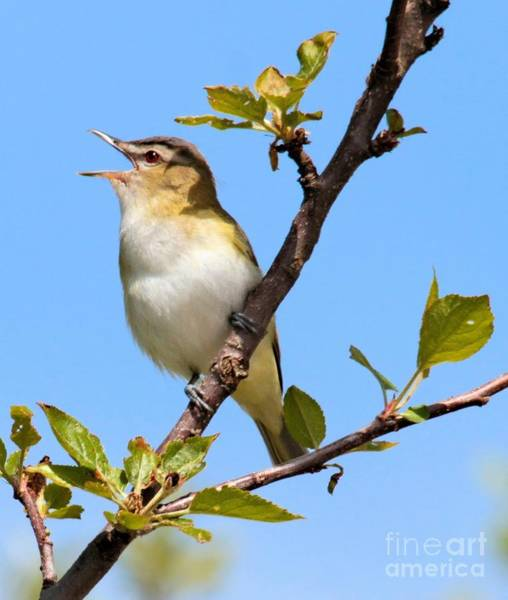 Photograph - Singing Red-eyed Vireo by Debbie Stahre