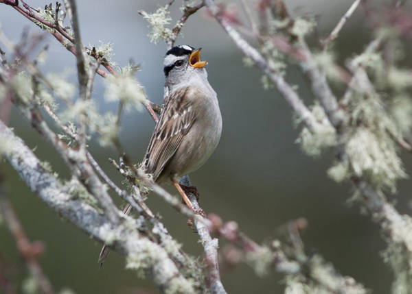 Photograph - Singing White-crowned Sparrow by Robert Potts