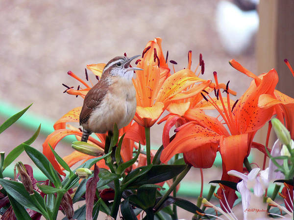 Photograph - Singing Wren In The Lilies by Ericamaxine Price