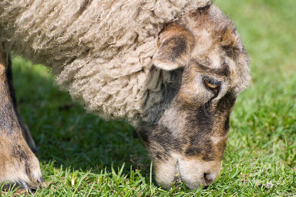 Ovine Photograph - Single Adult Sheep Eating Grass Head Detail  by Arletta Cwalina
