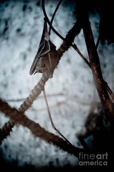 Wall Art - Photograph - Single Bat Hanging Alone by Arletta Cwalina