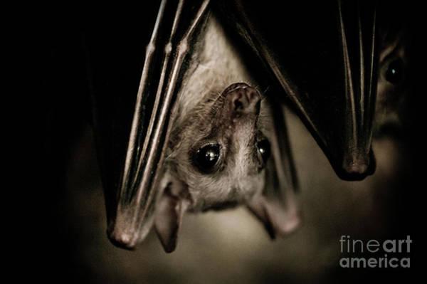 Wall Art - Photograph - Single Bat Hanging Portrait by Arletta Cwalina