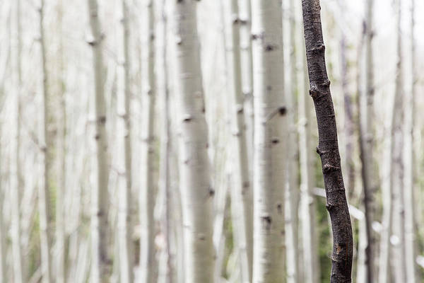 Wall Art - Photograph - Single Black Birch Tree Trunk by Susan Schmitz