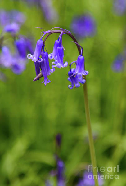 Photograph - Single Bluebell Flower Head by Colin Rayner
