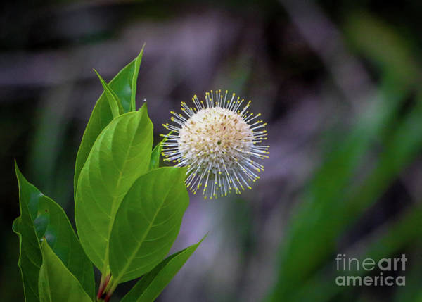 Photograph - Single Buttonbush by Tom Claud