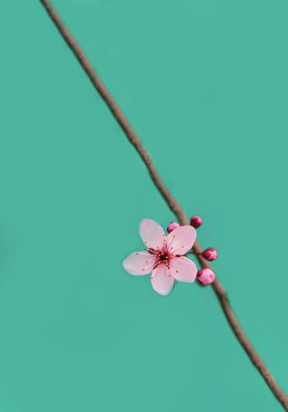 Wall Art - Photograph - Single Cherry Blossom by Rebecca Cozart