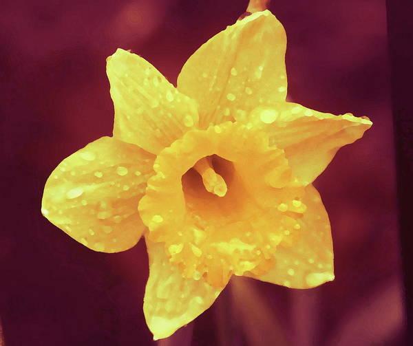 Dafodil Photograph - Single Daffodil 2 by Cathy Lindsey