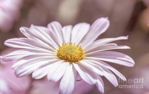 Photograph - Single Daisy by Andrea Anderegg