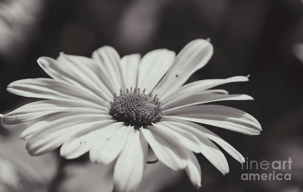 Photograph - Single Daisy Bw by Andrea Anderegg