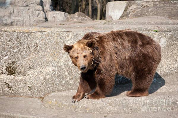 Wall Art - Photograph - Single Dangerous Big Brown Bear by Arletta Cwalina