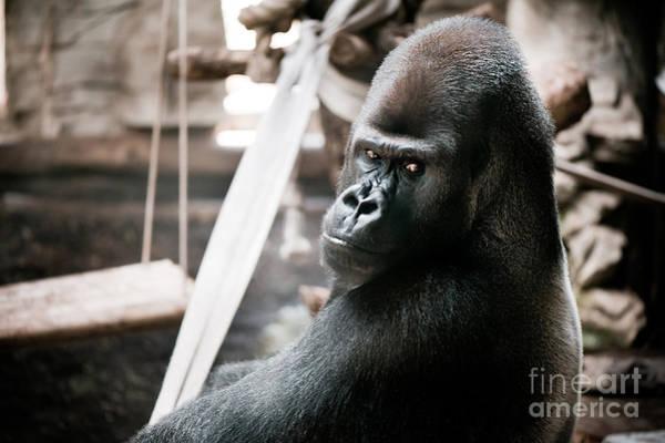 Wall Art - Photograph - Single Gorilla Sitting Alone by Arletta Cwalina