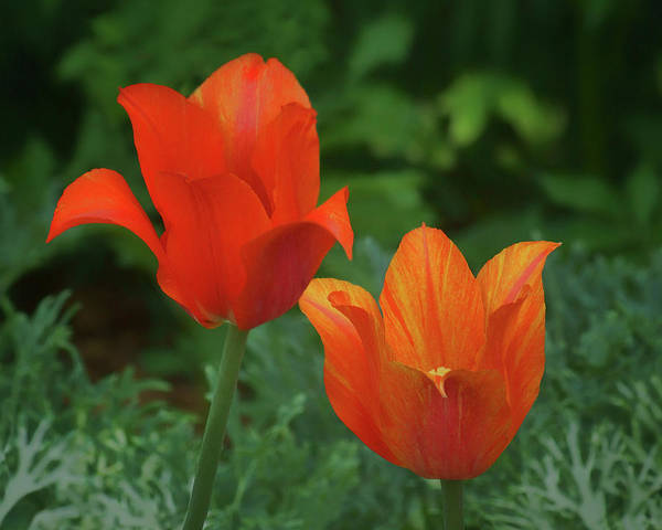 Wall Art - Photograph - Single Late Tulips - Pair by Nikolyn McDonald