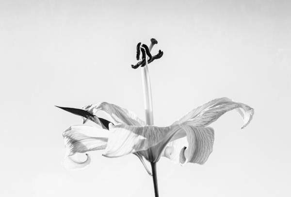 Photograph - Single Lilly Flower In Black And White by John Williams