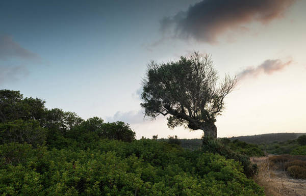 Scenery Wall Art - Photograph - Single Lonely Olive Tree In The Field During Sunset.  by Michalakis Ppalis