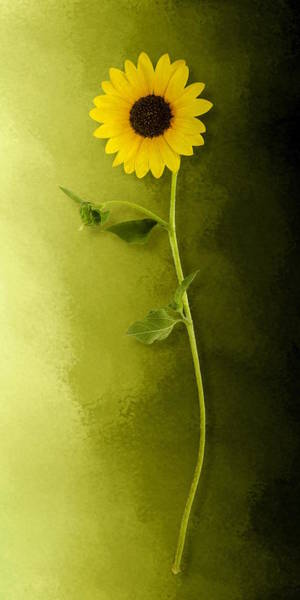 Photograph - Single Long Stem Sunflower by Debi Dalio