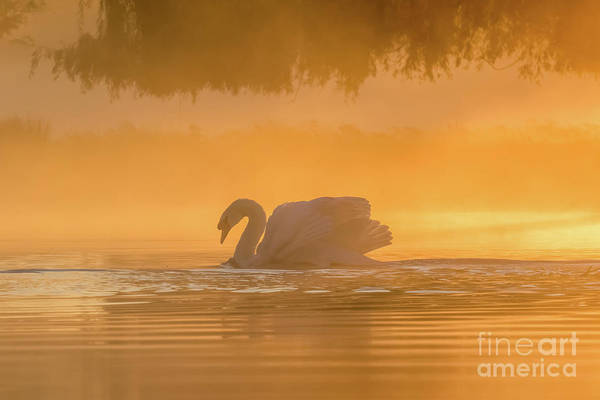 Photograph - Single Mute Swan - Cygnus Olor - On Orange Golden Pond At Sunrise by Paul Farnfield