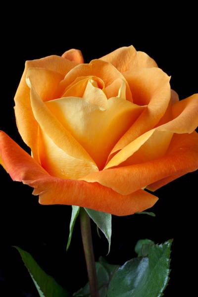 Single Wall Art - Photograph - Single Orange Rose by Garry Gay