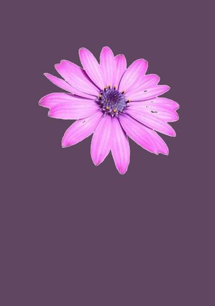 Osteospermum Painting - Single Pink African Daisy by Taiche Acrylic Art