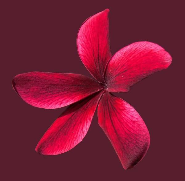 Photograph - Single Red Plumeria by Pamela Walton